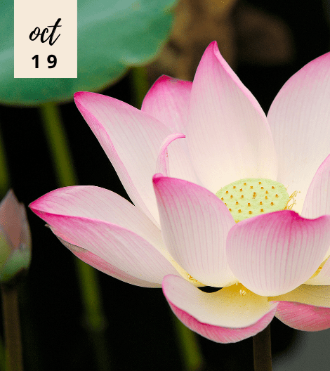 5 REASONS WHY LOTUS FLOWER EXTRACT IS GOOD FOR YOUR HEALTH CONCERNS AND GOOD AS A SKINCARE INGREDIENT